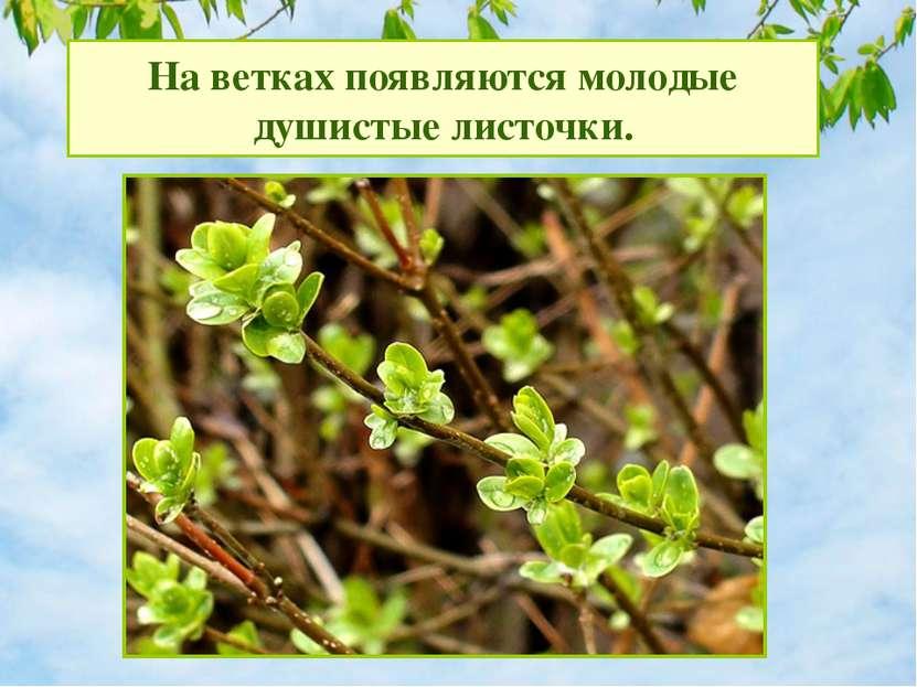 На ветках появляются молодые душистые листочки.