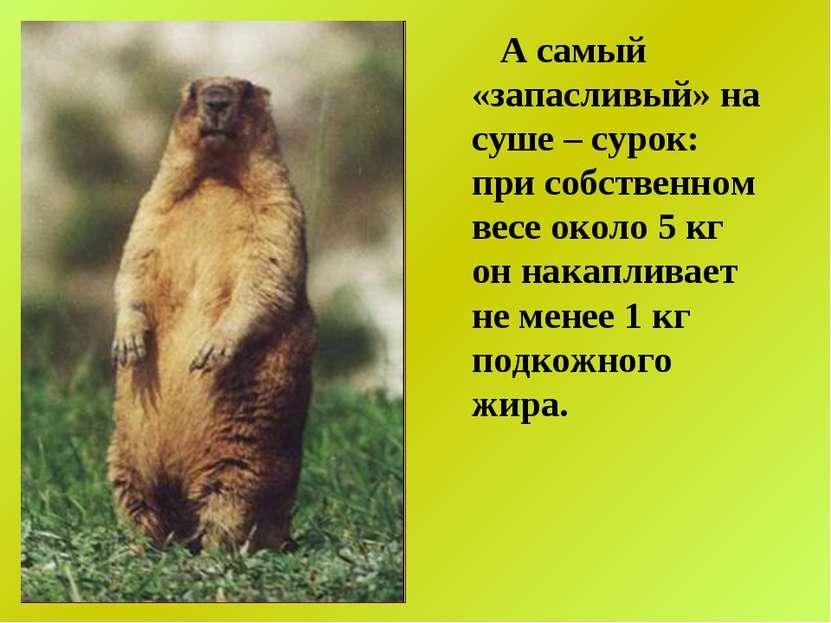 А самый «запасливый» на суше – сурок: при собственном весе около 5 кг он нака...