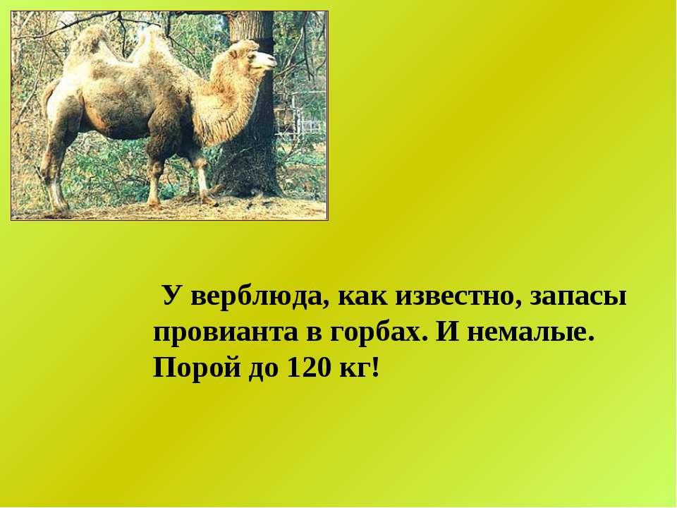 У верблюда, как известно, запасы провианта в горбах. И немалые. Порой до 120 кг!