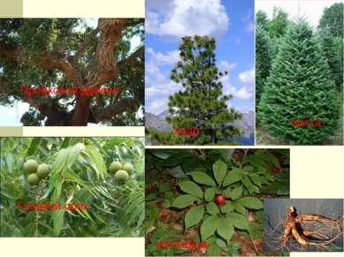 Пробковое дерево Грецкий орех кедр пихта женьшень