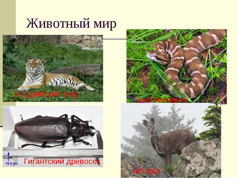 Животный мир Уссурийский тигр Гигантский древосек щитомордник кабарга