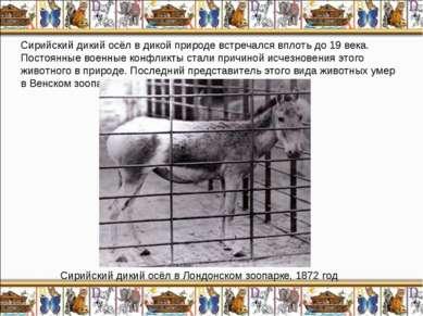 Сирийский дикий осёл в дикой природе встречался вплоть до 19 века. Постоянные...