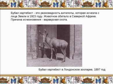 Бубал хартебист - это разновидность антилопы, которая исчезла с лица Земли в ...
