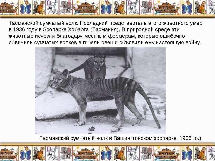 Тасманский сумчатый волк. Последний представитель этого животного умер в 1936...