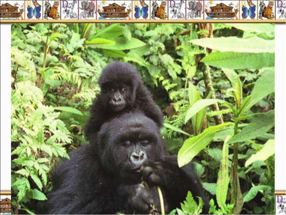 Африканская горная горилла (Gorilla beringei beringei) – самый большой и силь...