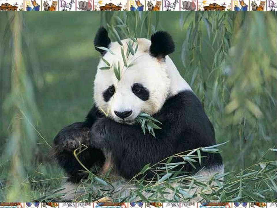 Гигантская панда (Ailuropoda melanoleuca) обитает в Китае, в верховьях реки Я...