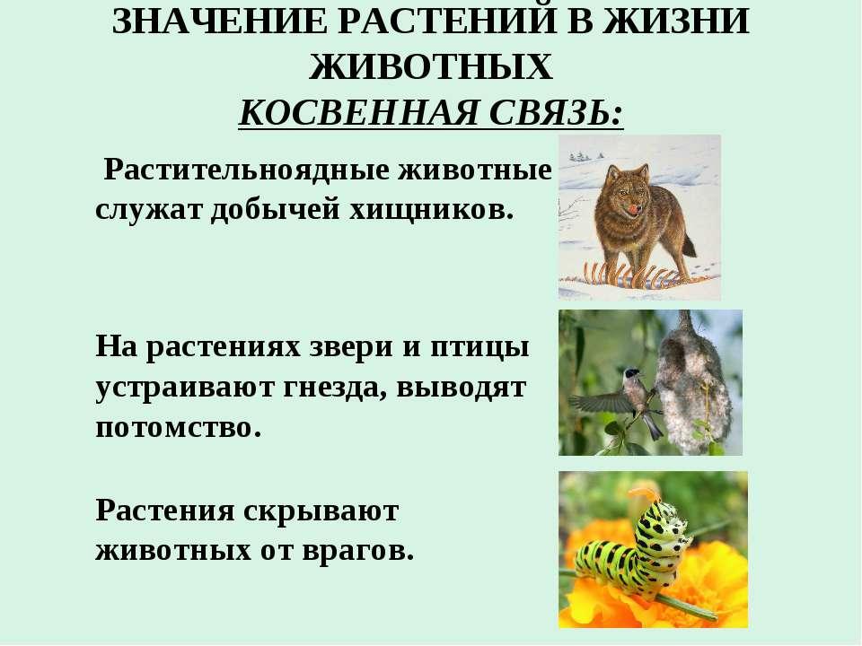 ЗНАЧЕНИЕ РАСТЕНИЙ В ЖИЗНИ ЖИВОТНЫХ КОСВЕННАЯ СВЯЗЬ: Растительноядные животные...