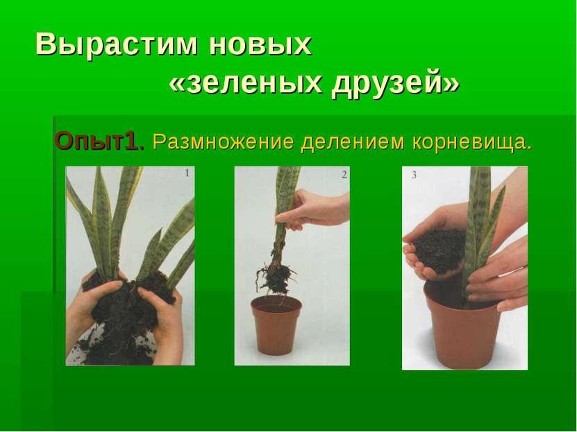 Вырастим новых «зеленых друзей» Опыт1. Размножение делением корневища.
