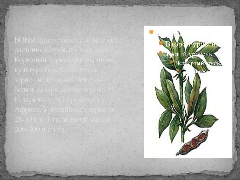 БОБЫ однолетнее травянистое растение семейства бобовых. Кормовая, зерновая и ...