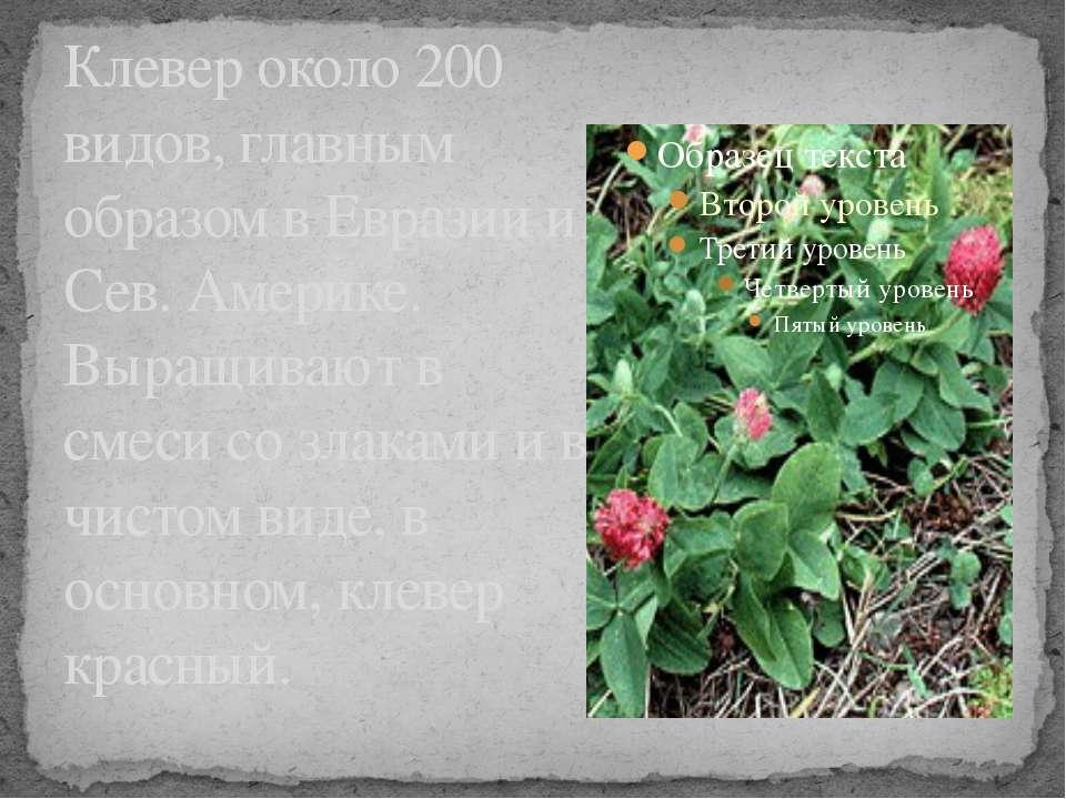 Клевер около 200 видов, главным образом в Евразии и Сев. Америке. Выращивают ...