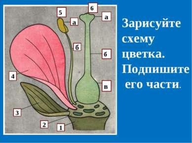 а а б в 6 5 а б 4 3 2 1 Зарисуйте схему цветка. Подпишите его части.