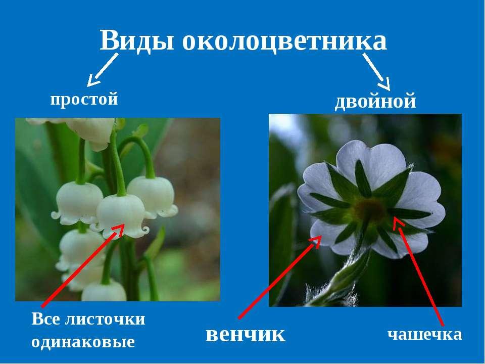 Виды околоцветника простой двойной Все листочки одинаковые венчик чашечка