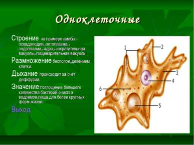 Одноклеточные Строение на примере амебы:1-псевдоподии,2-эктоплазма,3-эндоплаз...
