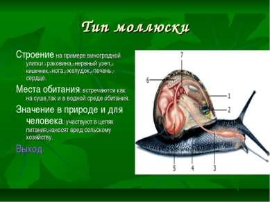 Тип моллюски Строение на примере виноградной улитки:1-раковина,2-нервный узел...