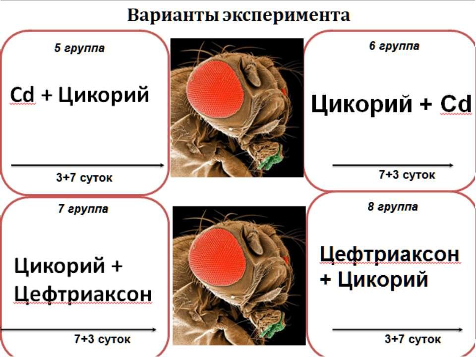 Цикорий + Цефтриаксон 7 группа 7+3 суток Варианты эксперимента 3+7 суток 5 гр...