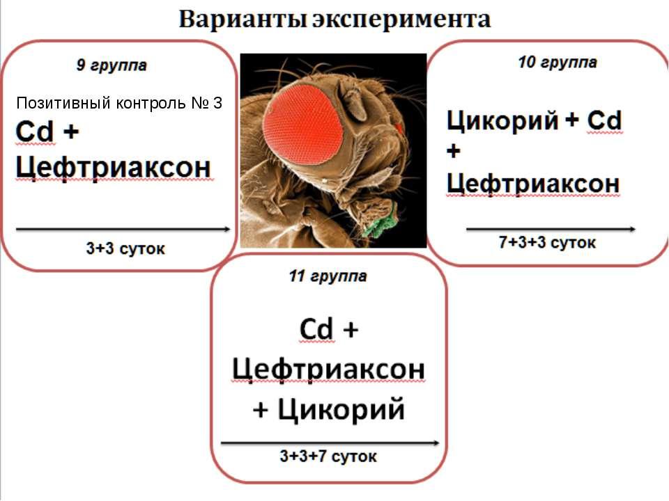 Cd + Цефтриаксон + Цикорий 11 группа 3+3+7 суток Варианты эксперимента 3+3 су...