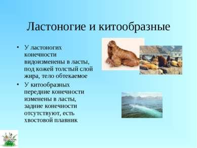 Ластоногие и китообразные У ластоногих конечности видоизменены в ласты, под к...