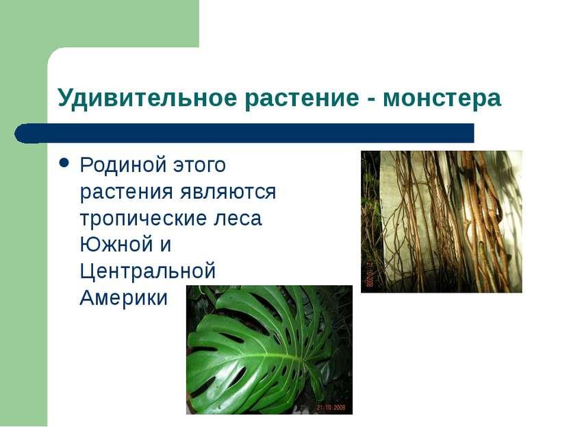 Удивительное растение - монстера Родиной этого растения являются тропические ...
