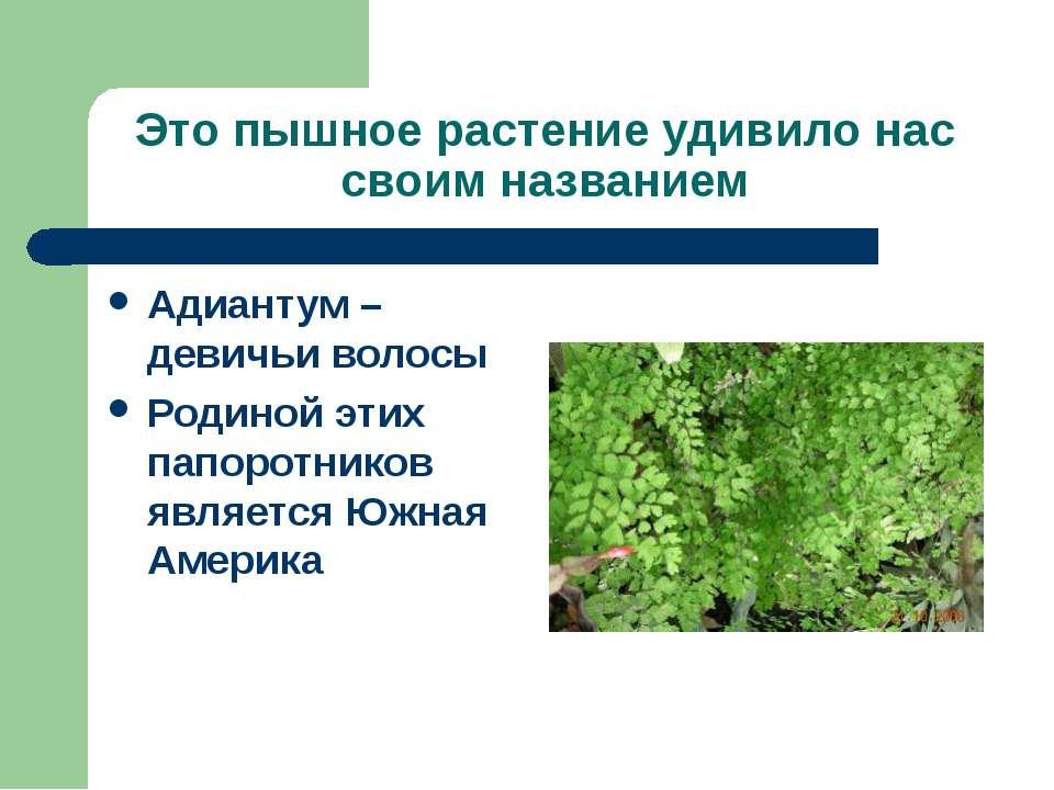Это пышное растение удивило нас своим названием Адиантум – девичьи волосы Род...