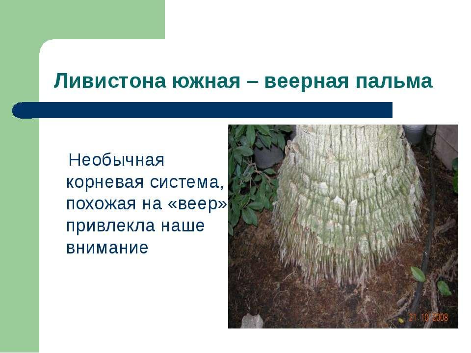Ливистона южная – веерная пальма Необычная корневая система, похожая на «веер...