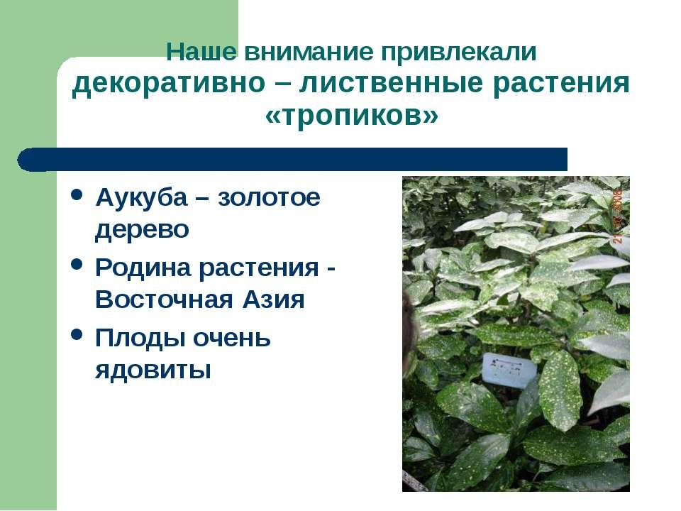 Наше внимание привлекали декоративно – лиственные растения «тропиков» Аукуба ...
