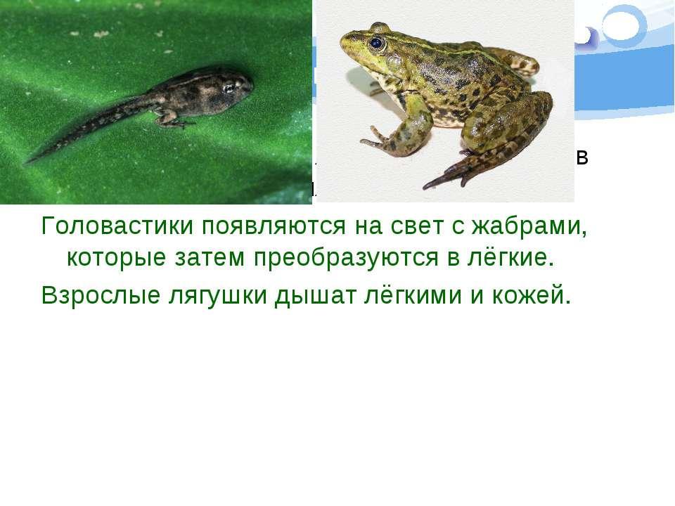 Это интересно Какое животное меняет жабры на лёгкие в ходе своего развития? Г...