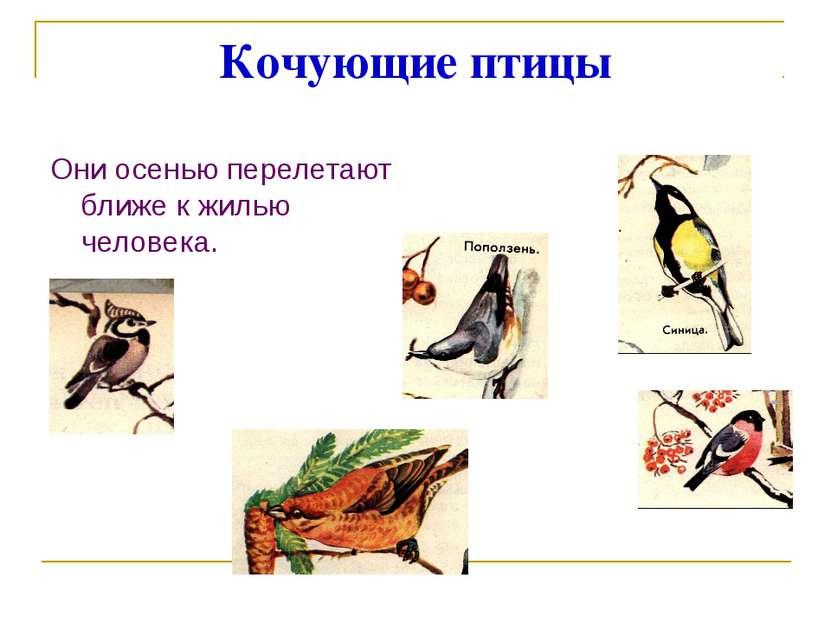 Кочующие птицы Они осенью перелетают ближе к жилью человека.