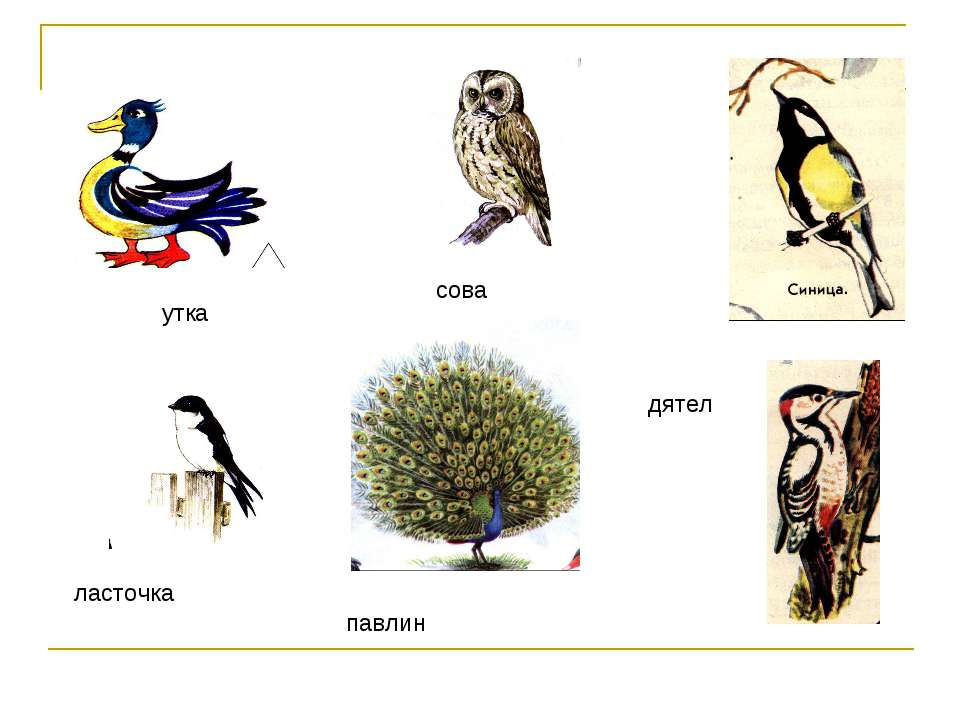 утка сова ласточка павлин дятел