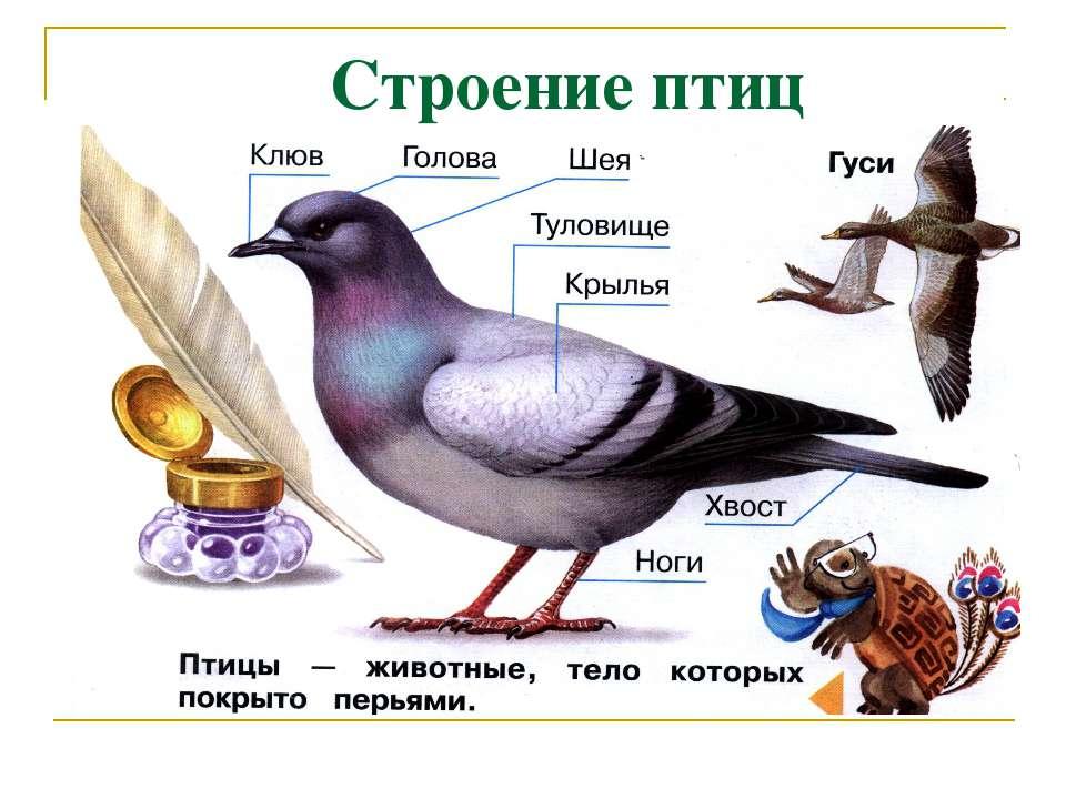 Строение птиц