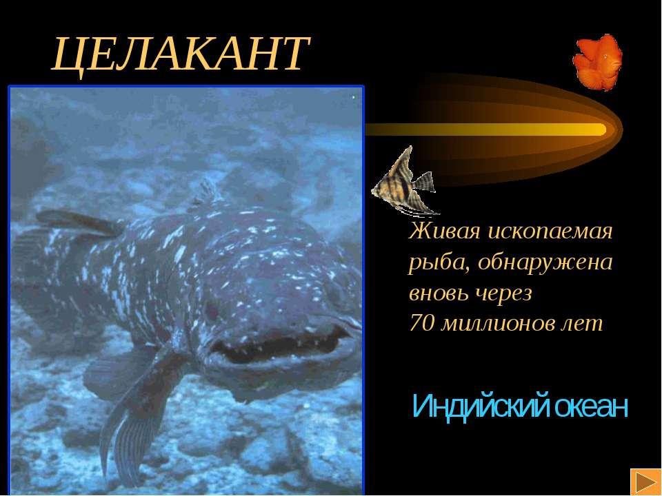 ЦЕЛАКАНТ Живая ископаемая рыба, обнаружена вновь через 70 миллионов лет Индий...