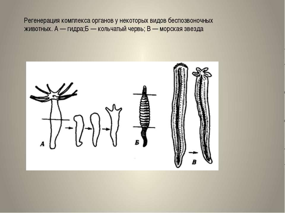Регенерация комплекса органов у некоторых видов беспозвоночных животных. А — ...