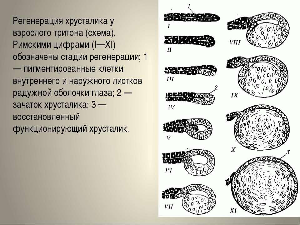 Регенерация хрусталика у взрослого тритона (схема). Римскими цифрами (I—XI) о...