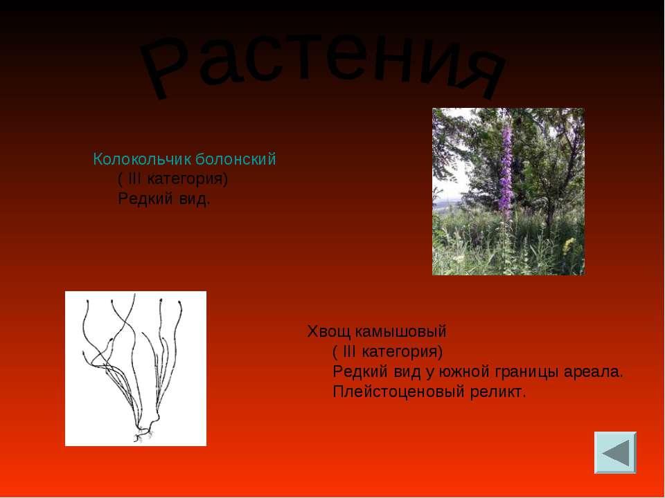 Колокольчик болонский ( III категория) Редкий вид. Хвощ камышовый ( III катег...