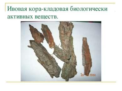 Ивовая кора-кладовая биологически активных веществ.