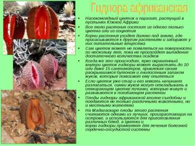 Насекомоядный цветок и паразит, растущий в пустынях Южной Африки Все тело рас...