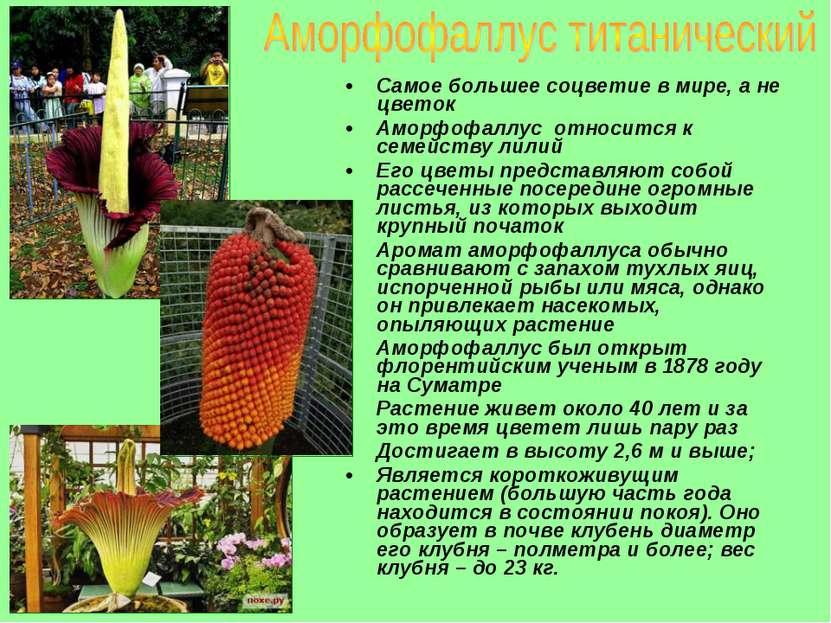 Самое большее соцветие в мире, а не цветок Аморфофаллус относится к семейств...