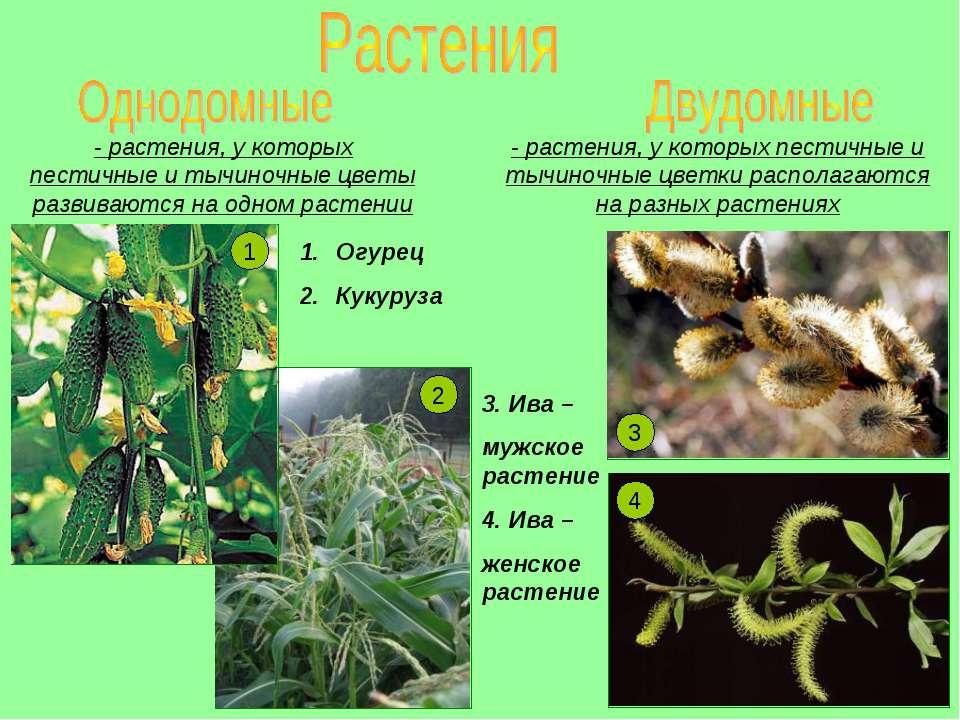 - растения, у которых пестичные и тычиночные цветы развиваются на одном расте...