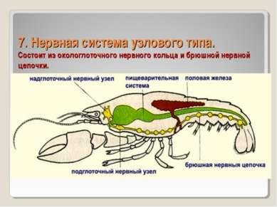 7. Нервная система узлового типа. Состоит из окологлоточного нервного кольца ...