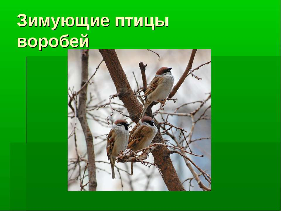 Зимующие птицы воробей