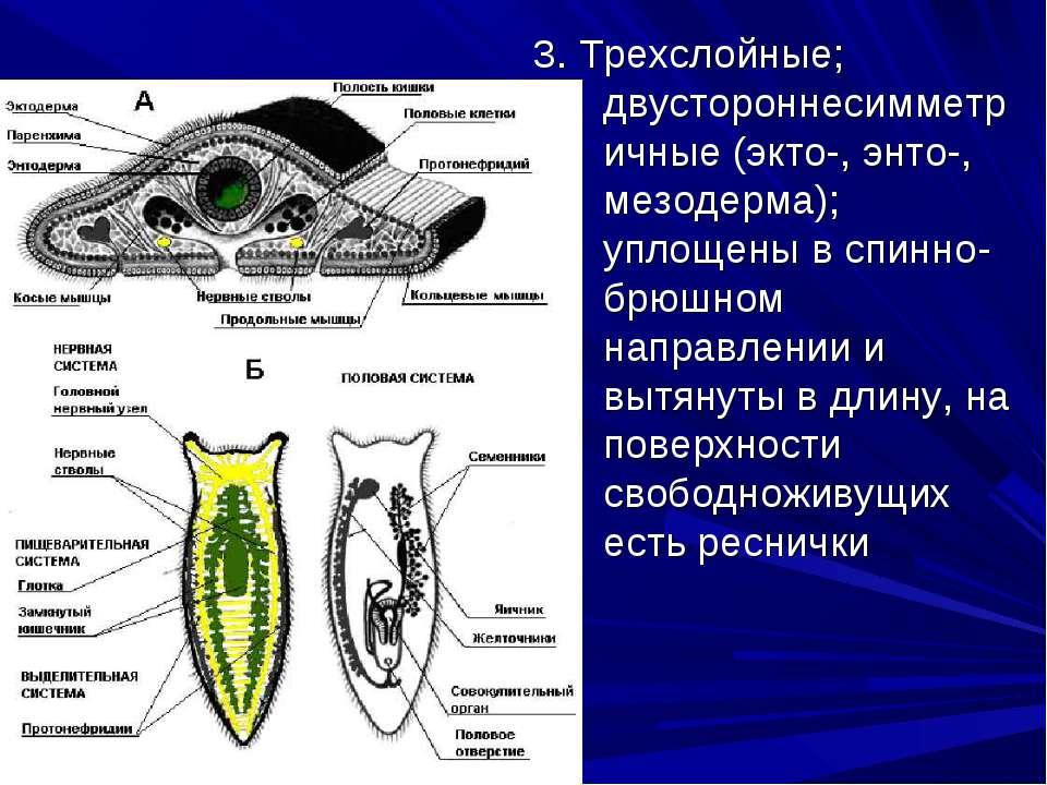 3. Трехслойные; двустороннесимметричные (экто-, энто-, мезодерма); уплощены в...