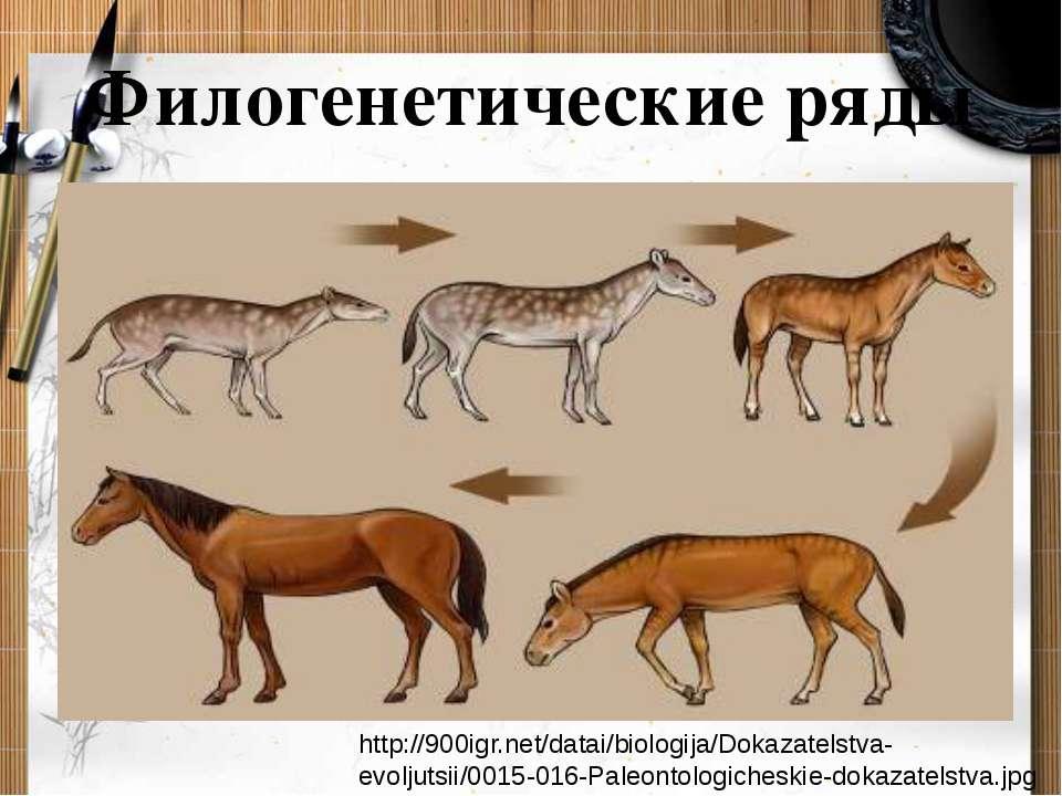 Филогенетические ряды http://900igr.net/datai/biologija/Dokazatelstva-evoljut...