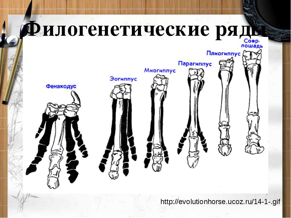 Филогенетические ряды http://evolutionhorse.ucoz.ru/14-1-.gif