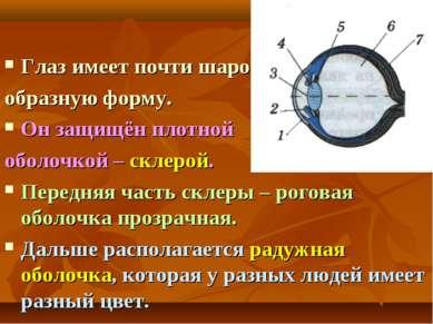 Глаз имеет почти шаро образную форму. Он защищён плотной оболочкой – склерой....