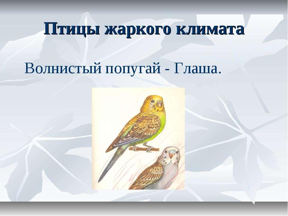 Птицы жаркого климата Волнистый попугай - Глаша.