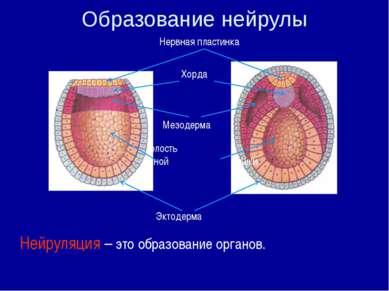 Нейруляция – это образование органов. Образование нейрулы Полость первичной к...