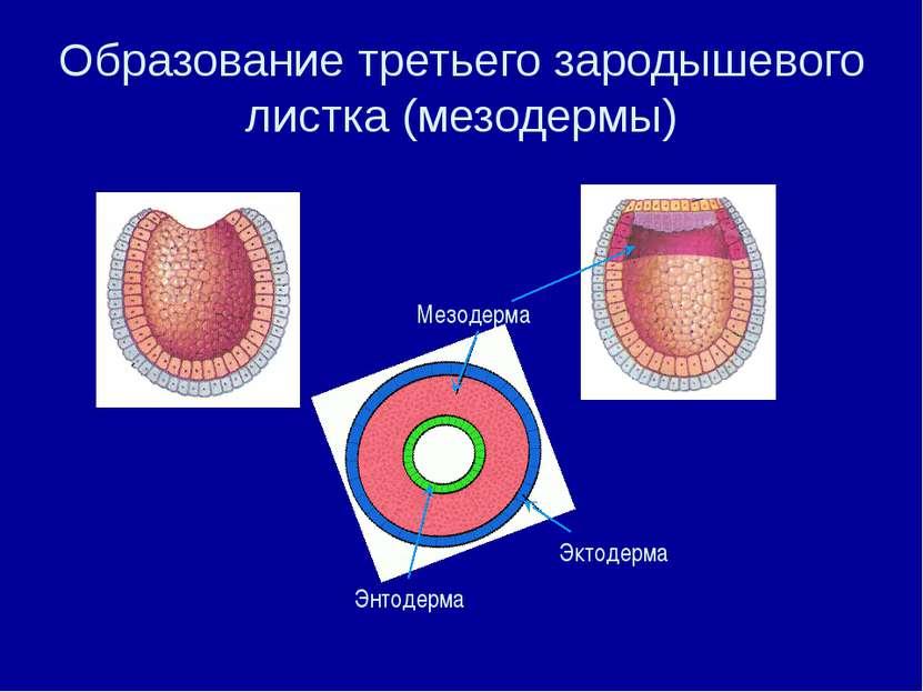 Образование третьего зародышевого листка (мезодермы) Мезодерма Эктодерма Энто...