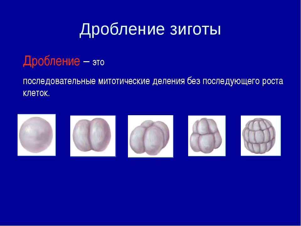 Дробление зиготы Дробление – это последовательные митотические деления без по...