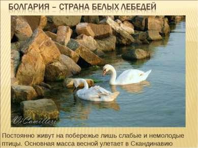 Постоянно живут на побережье лишь слабые и немолодые птицы. Основная масса ве...