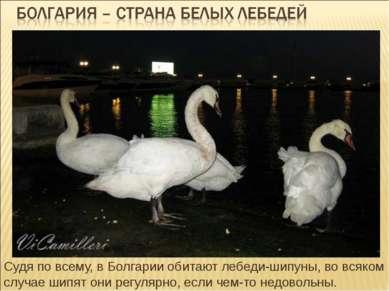 Судя по всему, в Болгарии обитают лебеди-шипуны, во всяком случае шипят они р...