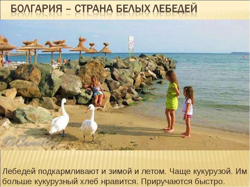 Лебедей подкармливают и зимой и летом. Чаще кукурузой. Им больше кукурузный х...